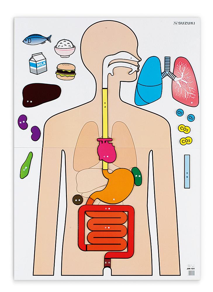人体図 NO-01(呼吸:消化) JIN-101